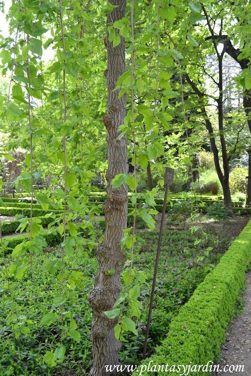 """Morus alba """"Pendula"""" detalle de ramas & hojas colgantes."""