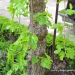 "Morus alba""Péndula"" detalle hojas."