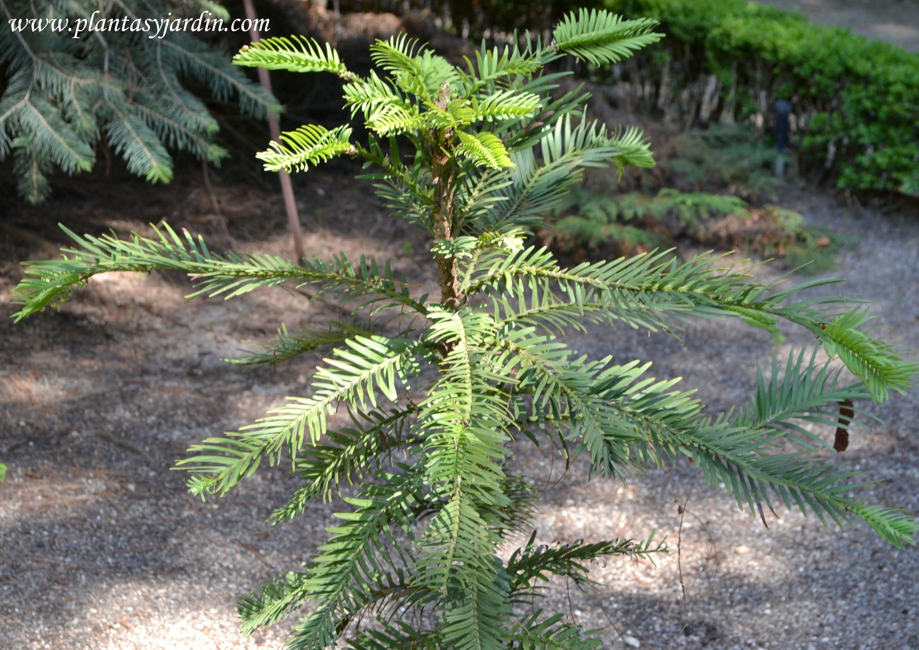 Wollemia nobilis, detalle follaje