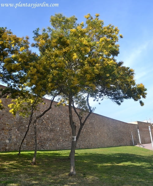 Acacia dealbata nativa de Australia