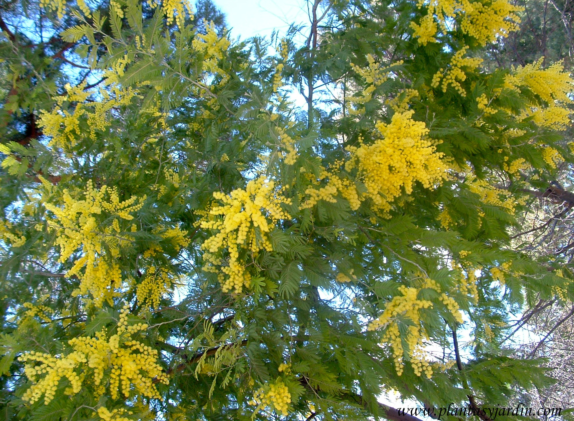 Acacia dealbata florecida, finales de invierno .