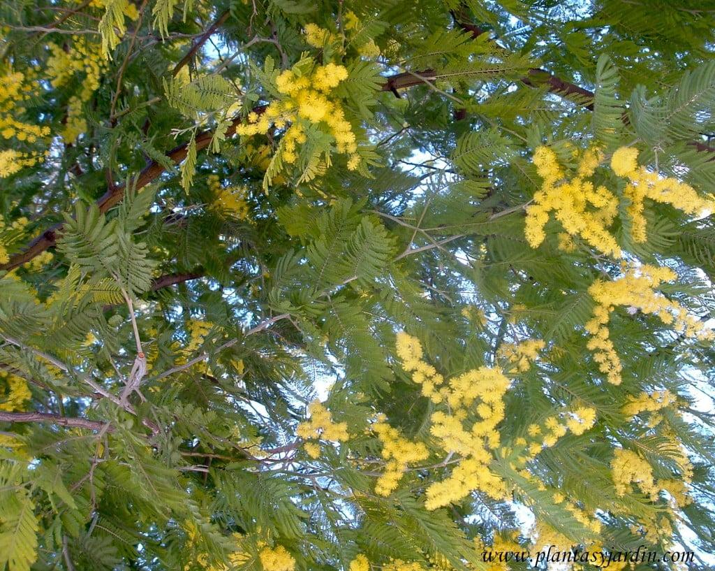 Acacia dealbata-Mimosa, detalle de follaje.