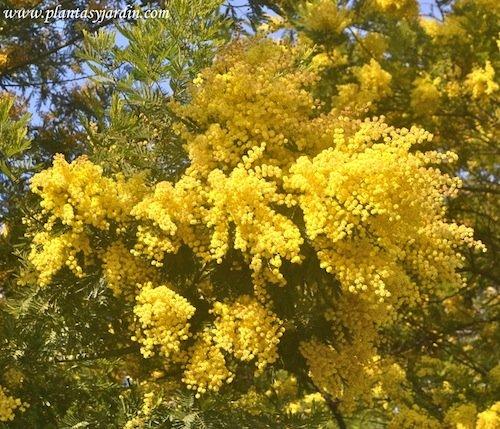 Acacia dealbata detalle de cabezuelas globulares