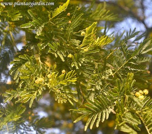 Acacia dealbata hojas bipinnadas compuestas por minúsculos folíolos