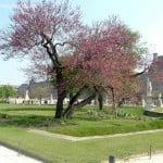 Cercis florecido en el Jardin des Tuileries, Paris