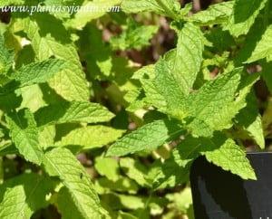 Mentha spicata-Hierbabuena, detalle del follaje.
