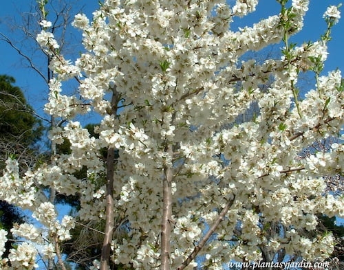Prunus dulcis Almendro