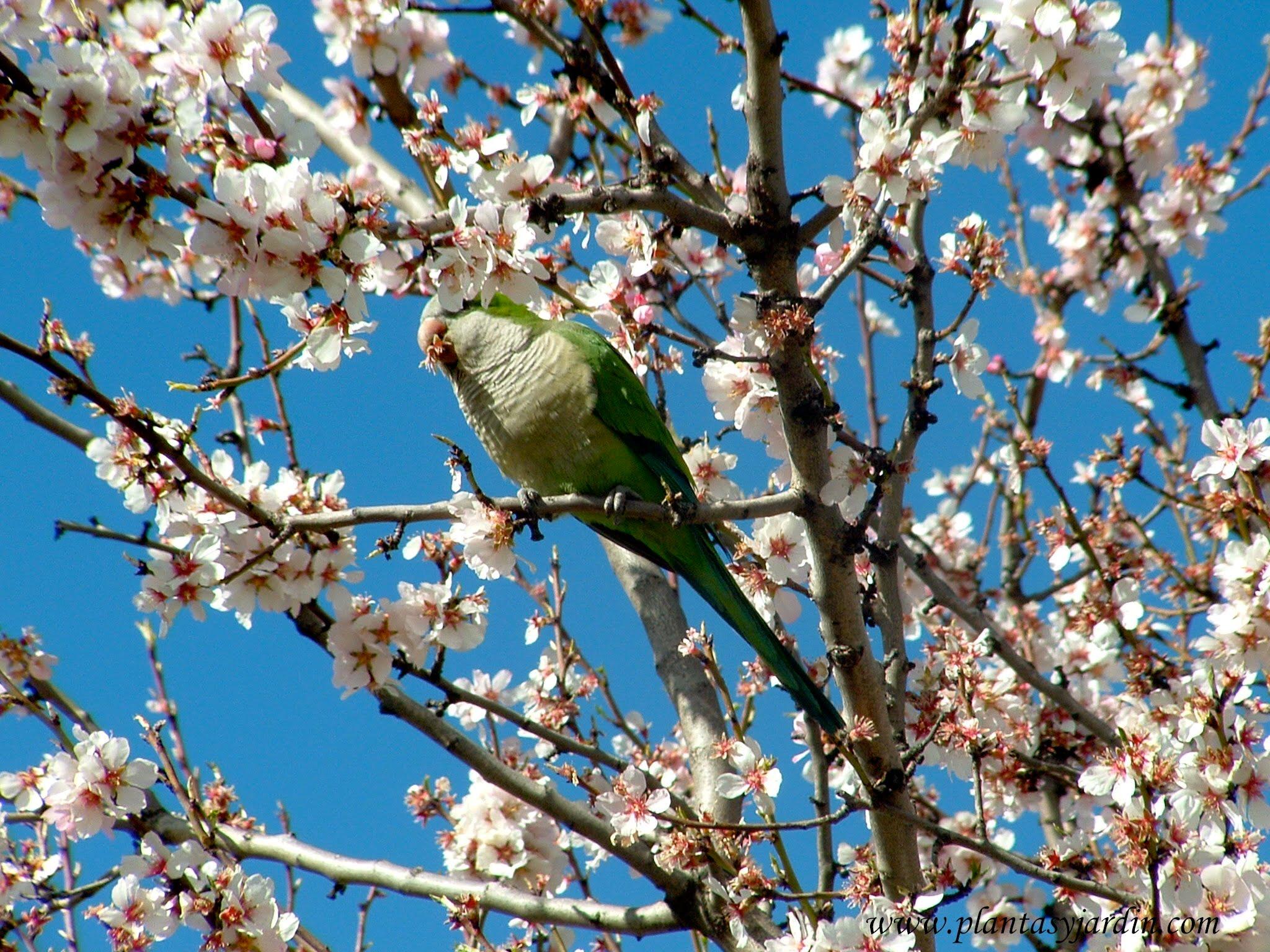 Prunus dulcis el almendro plantas y jard n for Como podar un ciruelo de jardin