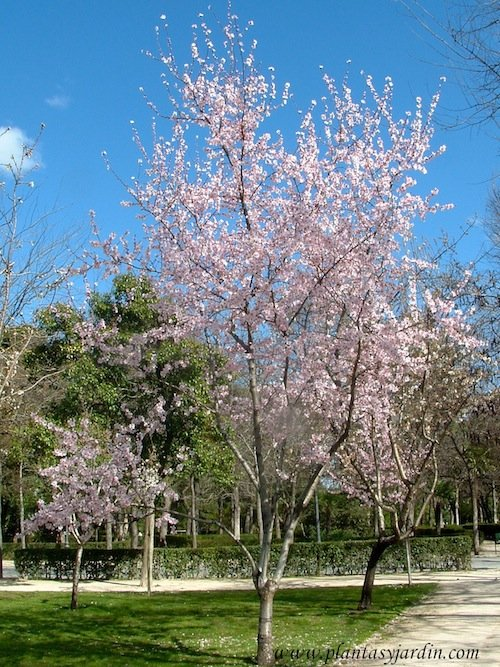 Prunus dulcis Almendro de flores rosadas