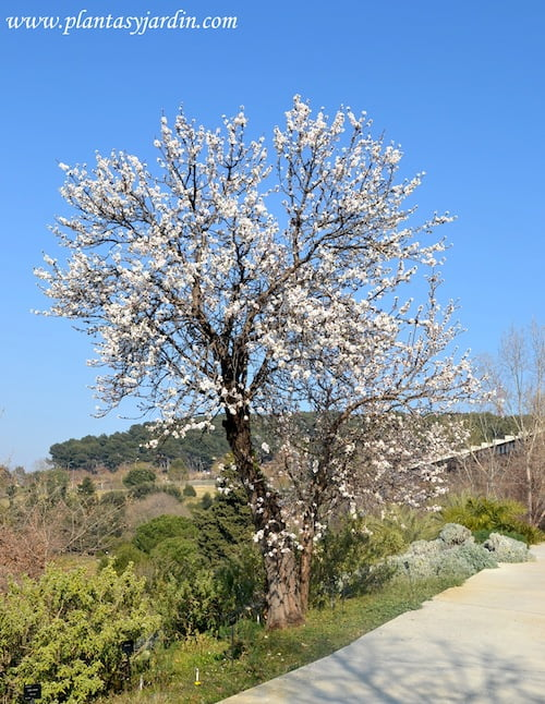 Prunus dulcis Almendro florecido a finales del invierno