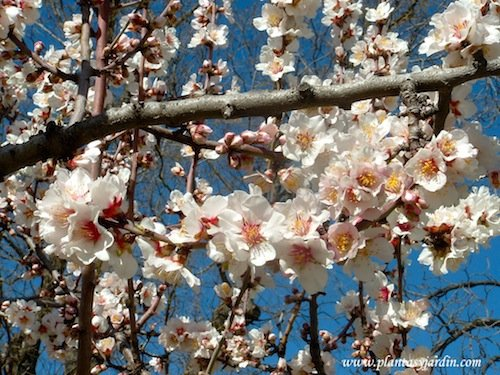 Prunus dulcis Almendro florecido sobre las ramas desnudas