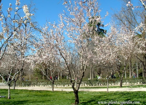 Prunus dulcis Almendros de flores blancas a finales del invierno