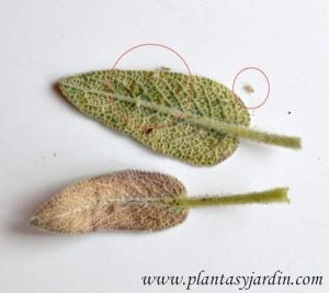 moscas blancas adultas  y ninfas en colonias en el envés de las hojas.