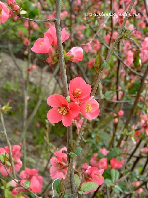 Chaenomeles speciosa detalle de flor rosado