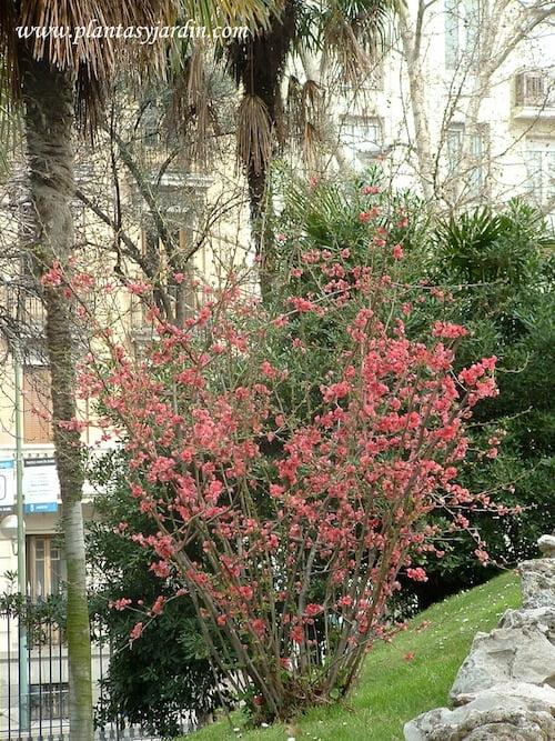 Chaenomeles speciosa flor color rosado