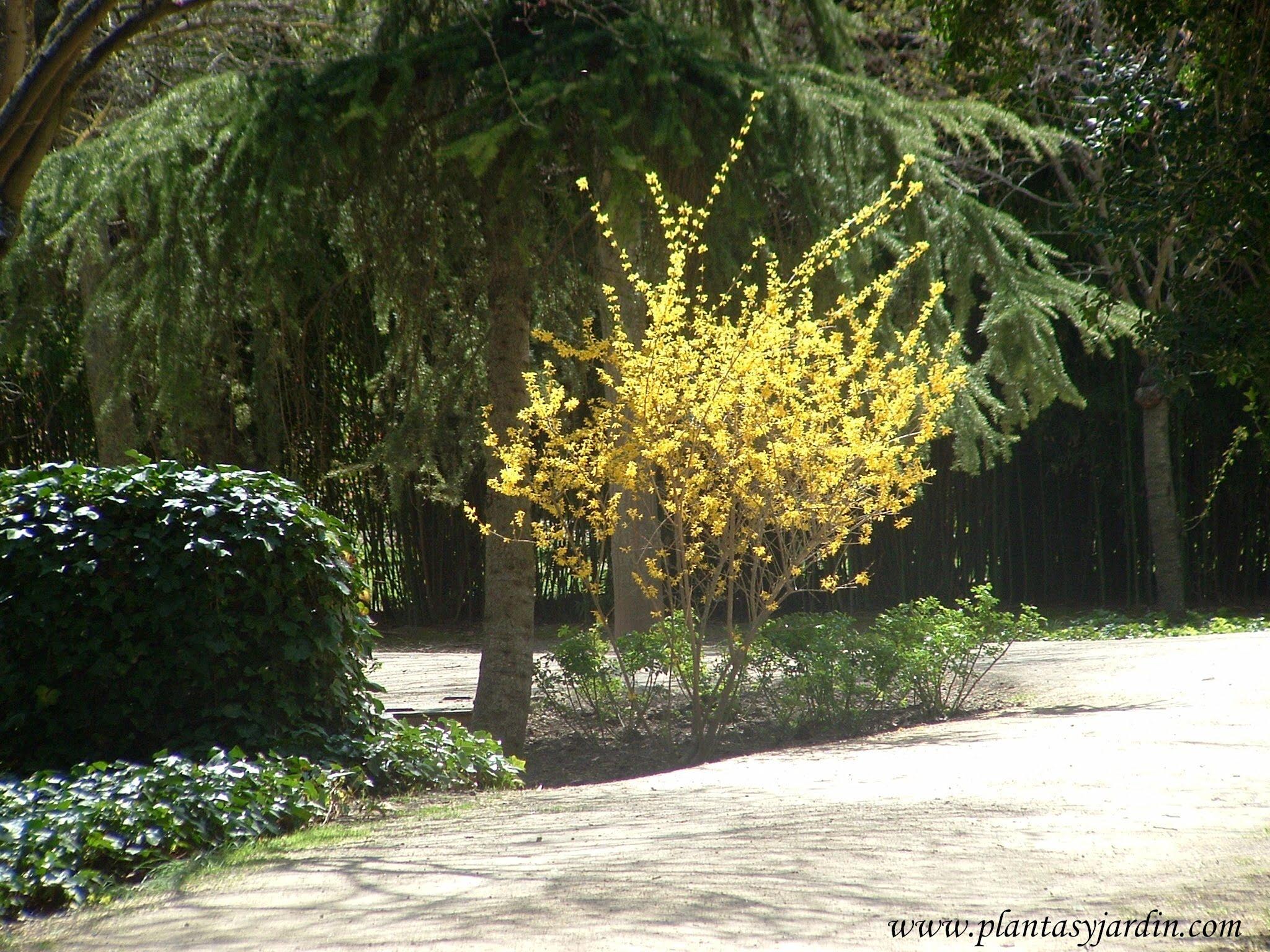 Forsythia en los Jardines de Aranjuez