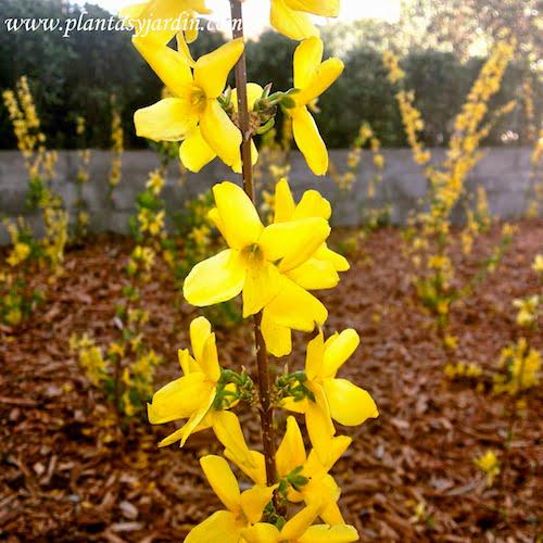 Forsythia florecida a comienzos de la primavera en Barcelona
