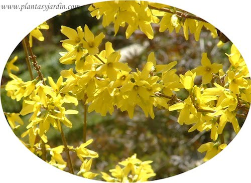 Forsythia x intermedia flor
