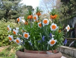 Narcisos Muscari y Fritillaria florecidos en la Av de la 100 Fuentes Villa D Este