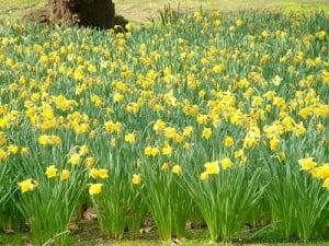 Narcisos en macizo en el Jardin de Luxembourg