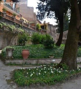 Narcisos plantados bajo los arboles en la Villa D' Este