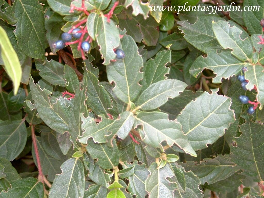 hojas de Viburnum tinus mordidas por hormigas.