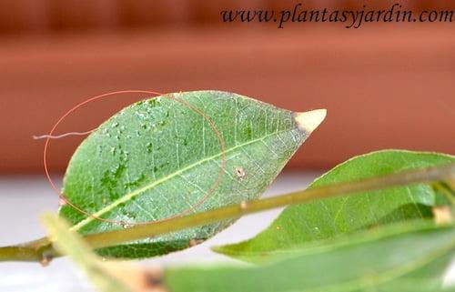 Laurus nobilis con melado en el haz de la hoja, principal indicador de la presencia de la plaga.