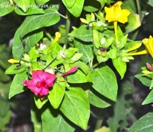 Mirabilis jalapa-Dondiego de noche, herbácea perenne