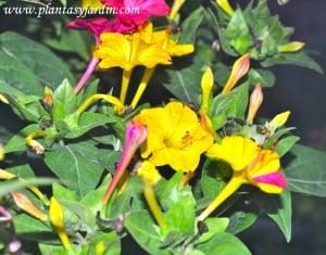 Mirabilis jalapa-Dondiego de noche, detalle de flores