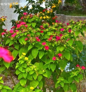 Mirabilis jalapa florecida en verano