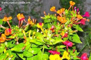 Miralibilis jalapa nativa de Perú