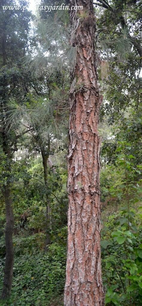 Pinus canariensis Pi canari