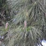 Pinus canariensis-Pino canario