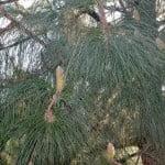 Pinus canariensis-Pino canario, detalle de follaje
