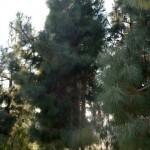 Pinus canariensis-Pino canario, endémico de las Islas Canarias