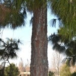 Pinus canariensis detalle del tronco