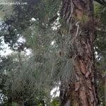 Pinus canariensis hojas agrupadas de 3 en 3 largas hasta 30 cm