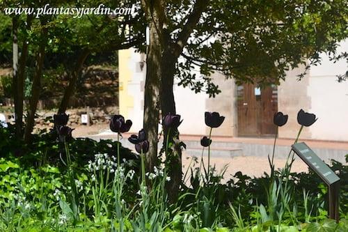 Tulipan negro