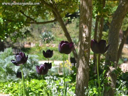 Tulipan negro en primavera