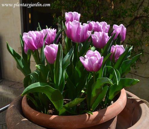 Tulipanes en tiestos