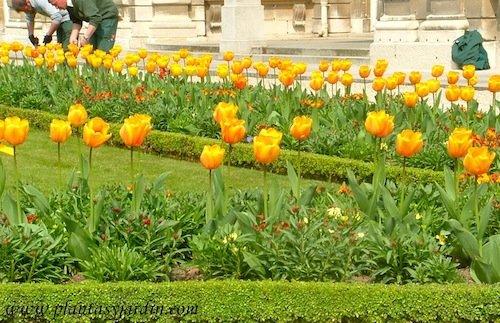 Tulipanes naranjas en borduras en el Jardin de Luxembourg.