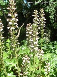 Acanthus mollis-Acanto detalle de flor