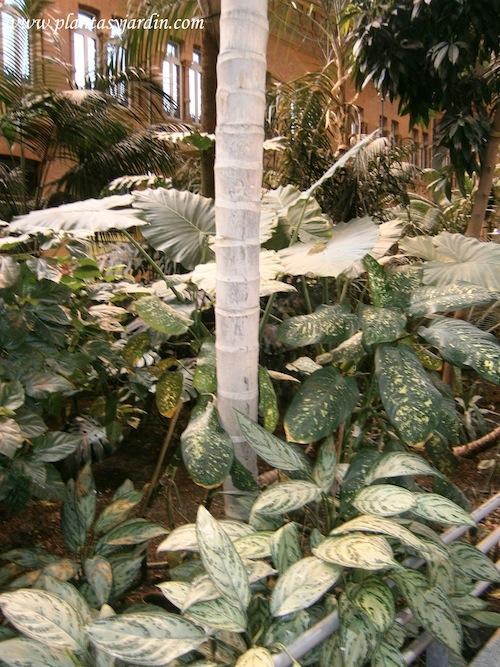 Aglaonema-Alocasia-Dieffenbachia de la familia de las Aráceas en el invernadero de Atocha
