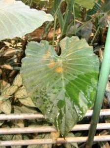 Alocasia con hojas sagitadas (alargadas, puntiagudas y con dos lóbulos en la base)