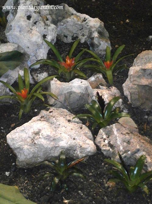 Bromeliáceas entre las plantas tropicales en el invernadero del jardín tropical de Atocha
