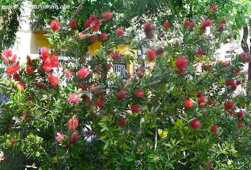 Callistemon-Limpiatubos arbusto perenne con una prolongada floración en primavera y verano