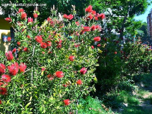 Callistemon-Limpiatubos florecido a comienzos de la primavera