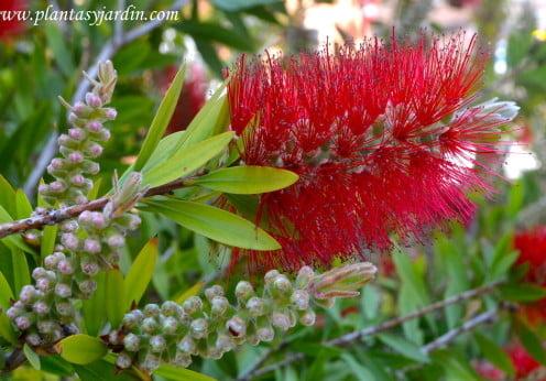 Arbustos de flor roja plantas jard n for Arbustos con flores para jardin