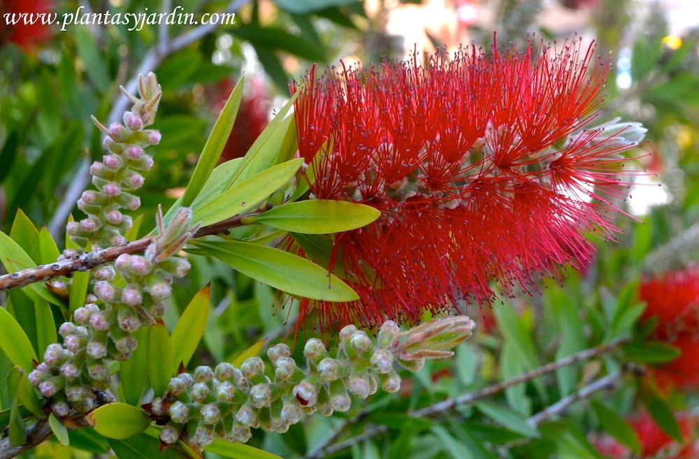 Callistemon-Limpiatubos flores dispuestas en espigas cilindricas con largos estambres rojos