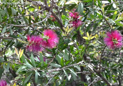 Callistemon citrinus detalle floracion